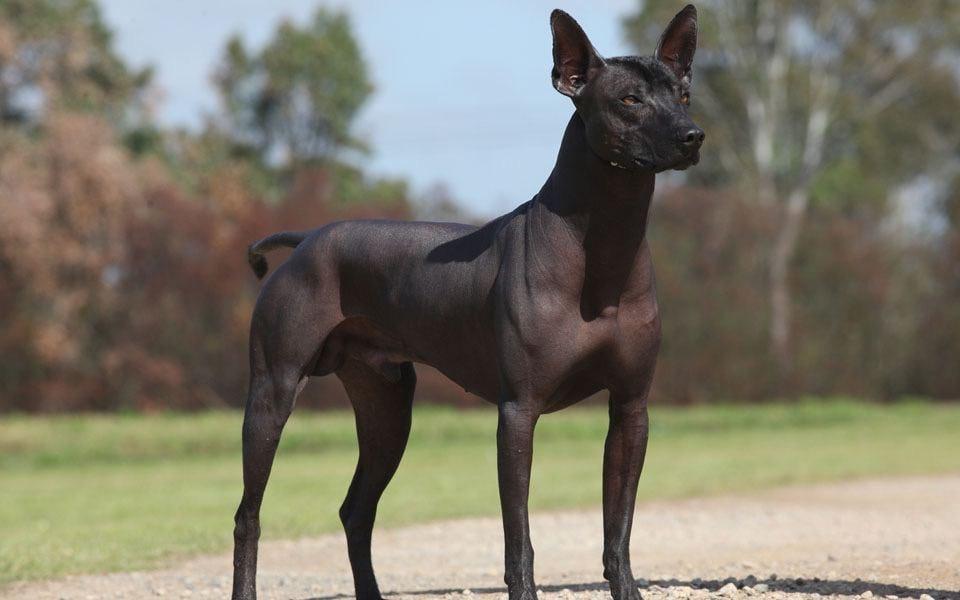 Собаки целители  Например, все лысые собачки (голая перуанская, мексиканская и...