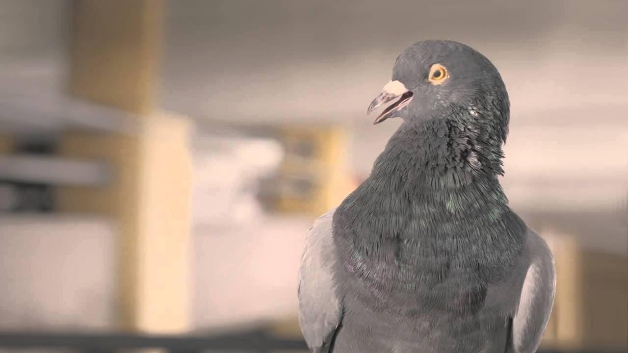 Притча о недовольном голубе  Жил-был один голубь. Он не мог ужиться ни в одном...